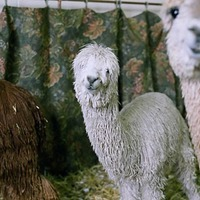 The Great Western Alpaca Show