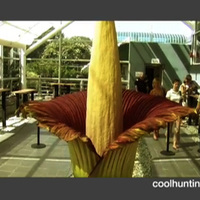 Cool Hunting Video Presents: Amorphophallus Titanum