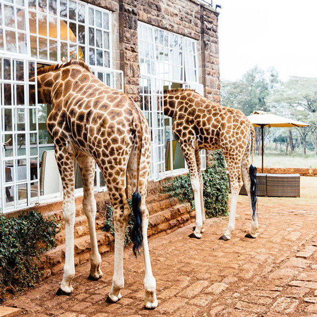 Giraffe Manor, Nairobi: A Kenyan sanctuary that protects the endangered Rothschild subspecies, who aren't shy to nab a treat from your hands (or lips)