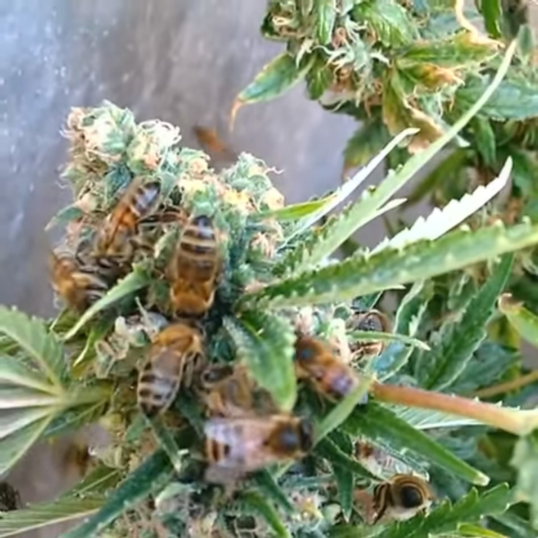 Bees That Make Honey From Marijuana Plants