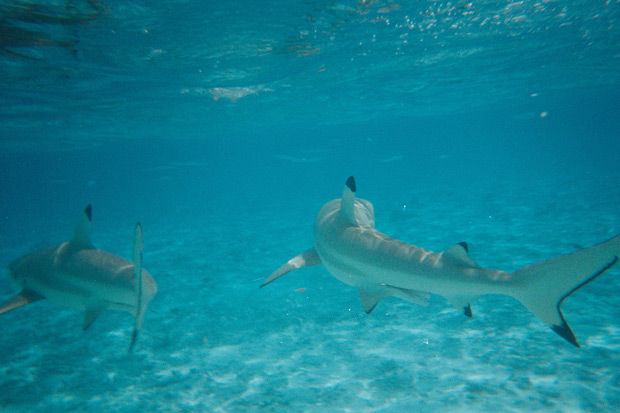 borabora-shark-7.jpg