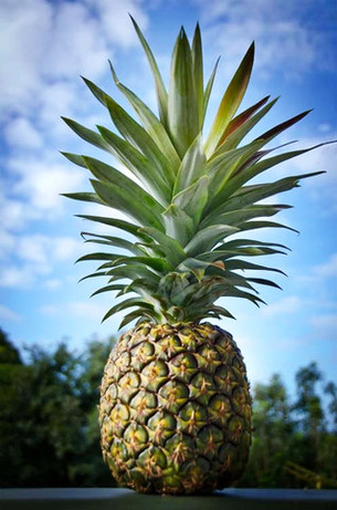 Sugarloaf-Pineapple-1.jpg