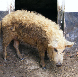 Sheep-Pig2.jpg