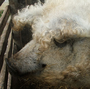 Sheep-Pig3.jpg